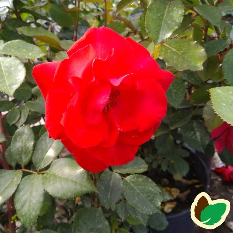 Rose Heidelberg / Slyngrose