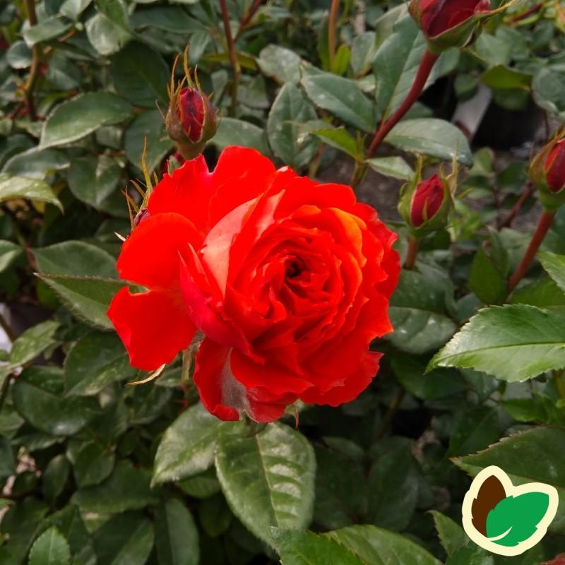 Rose Thank You - Buketrose
