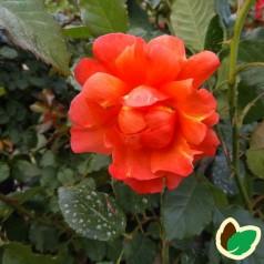 Rose Westerland / Buskrose