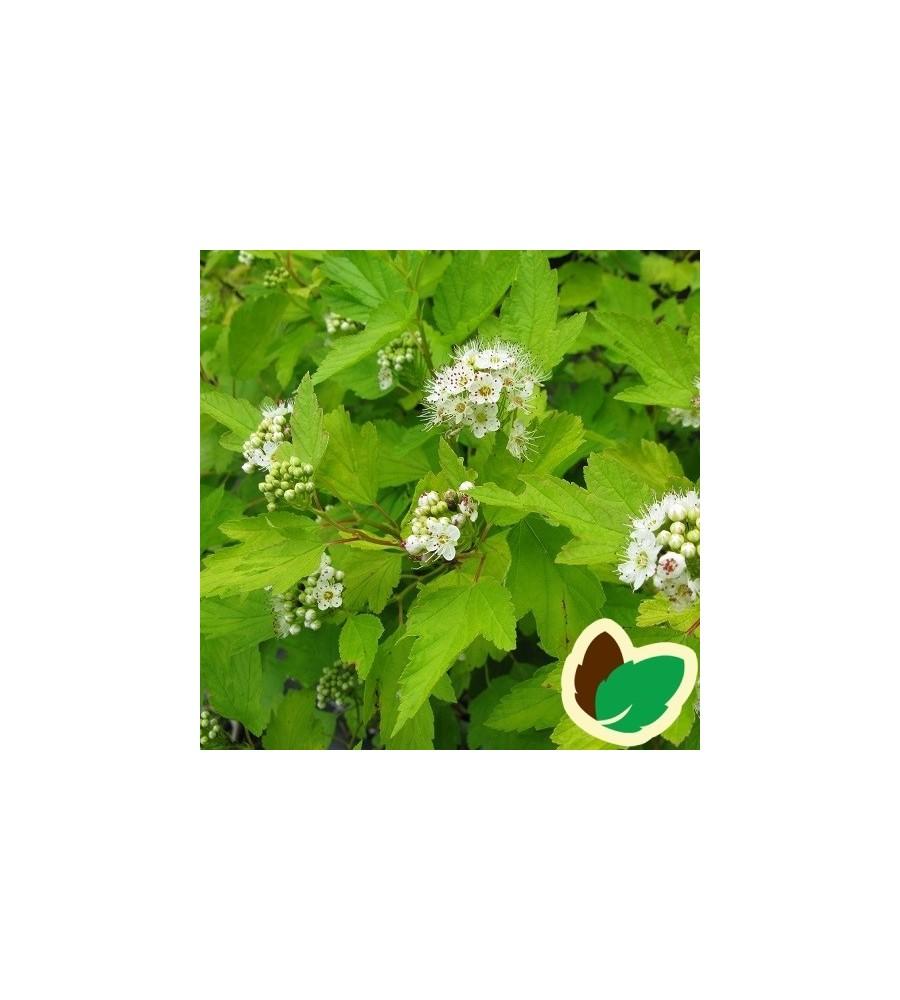 Physocarpus opulifolius Luteus / Gul Blærespiræa