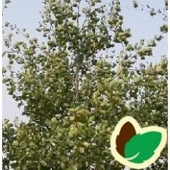 Populus alba Nivea - Sølvpoppel / 10 stk. 60-100 cm. barrods - S