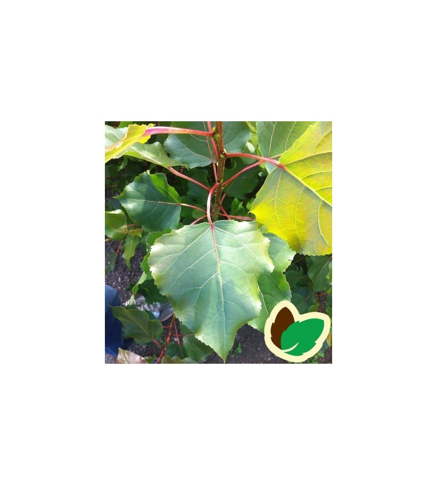 Populus canadensis Robusta - Poppel / 10 stk. 60-10 cm. barrods - S