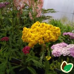 Achillea millefolium Little Moonshine - Røllike