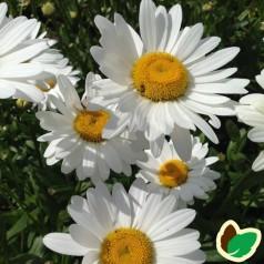 Leucanthemum superbum Becky - Kæmpemargerit
