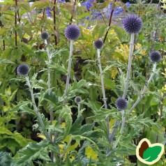 Echinops ritro Veitchs Blue - Tidselkugle