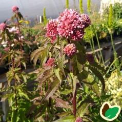 Eupatorium cannabinum Plenum - Hjortetrøst