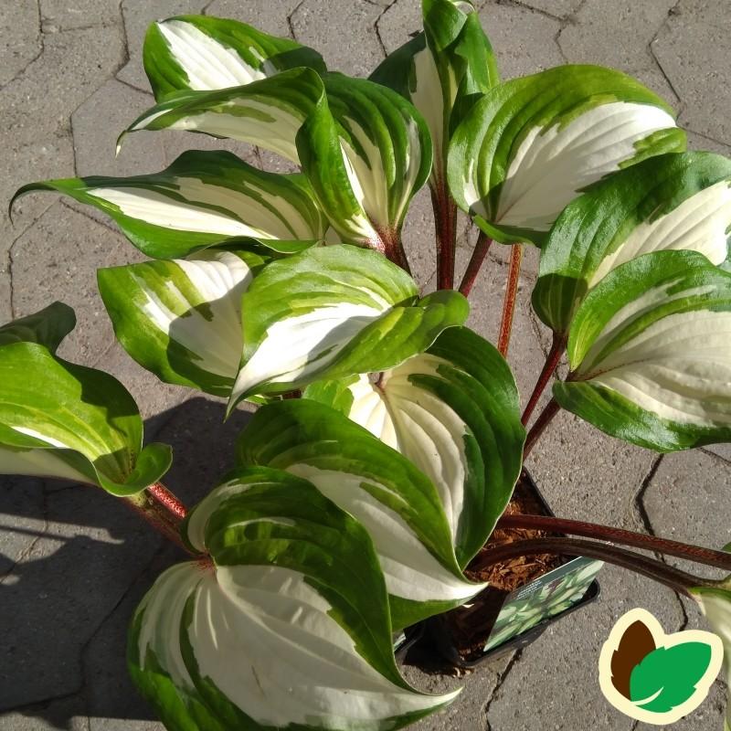 Hosta hybrid Raspberry Sundae - Funkia