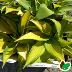 Hosta tardiana June - Funkia