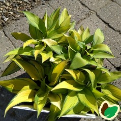 Hosta tardiana June / Funkia