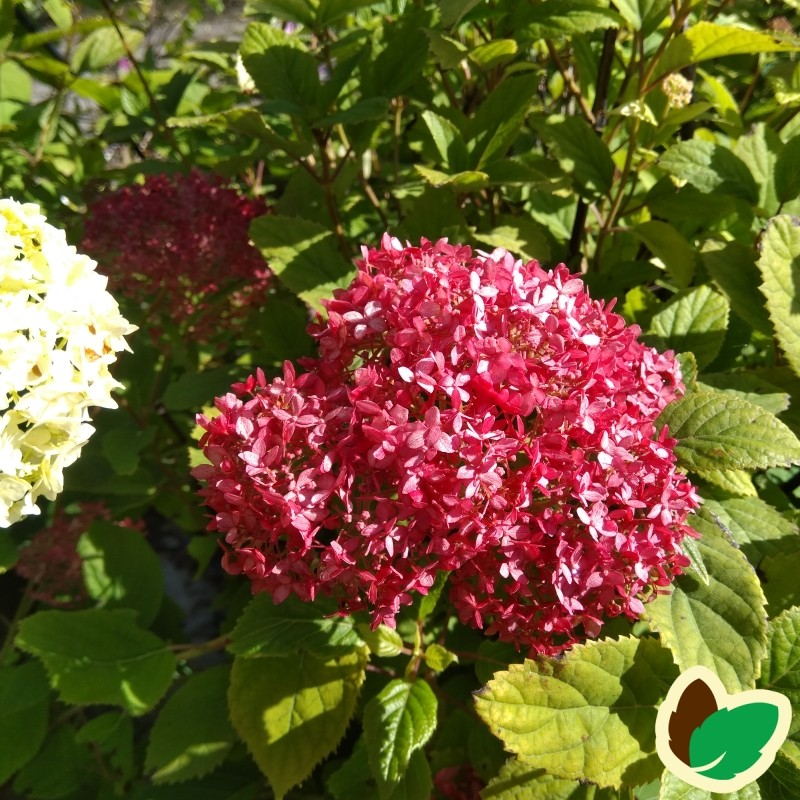 Hydrangea arborescens Pink Pincushion - Træagtig Hortensia