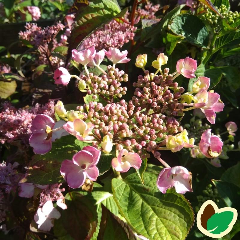 Hydrangea serrata Intermedia / Hortensia
