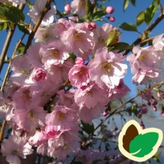 Prunus sargentii Accolade - Sakhalin-Kirsebær / 120 cm. stamme med krone.