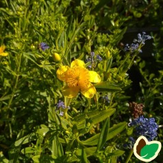 Småbladet Perikon 30-50 cm. - Bundt med 10 stk. barrodsplanter - Hypericum erectum Gemo*