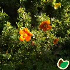 Potentilla fruticosa Hopleys Orange - Buskpotentil
