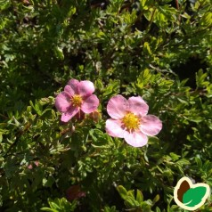 Buskpotentil  - Potentilla fruticosa Lovely Pink