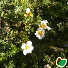 Potentilla fruticosa Sandved - Buskpotentil