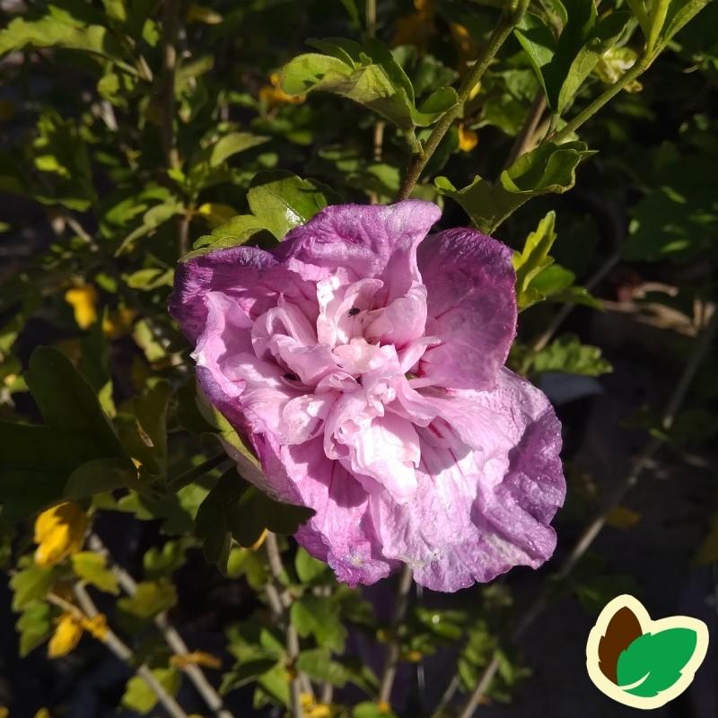 Hibiscus syriacus Lavender Chiffon / Syrisk Rose