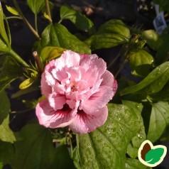 Hibiscus syriacus Stadt Erlenbach - Syrisk Rose