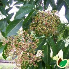 Honningtræ / Bi-træ ('Tetradium' Euodia Daniellii Var Huphensis)