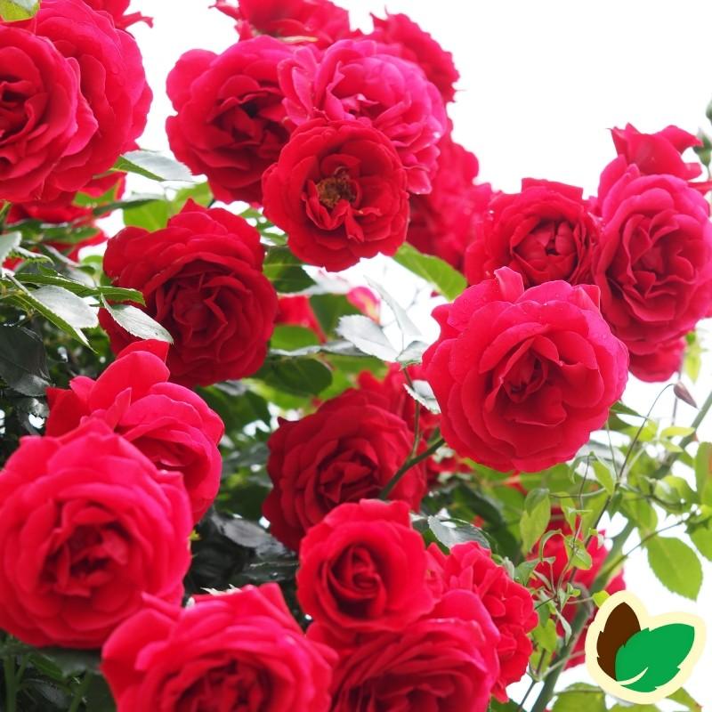 Rose Sympathie - Slyngrose / Barrods