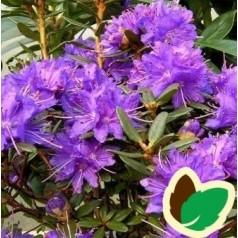 Dværg Rhododendron Azurika