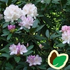 Rhododendron hybrid Eskimo