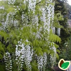 Hvid blåregn / Wisteria Floribunda Alba