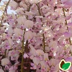 Rosa blåregn / Wisteria Floribunda Rosea