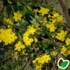Vinterjasmin / Jasminum nudiflorum
