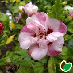 Hibiscus syriacus Lady Stanley / Syrisk Rose