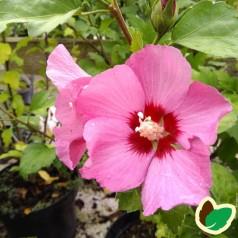 Hibiscus syriacus Pink Giant (Flogi) / Syrisk Rose
