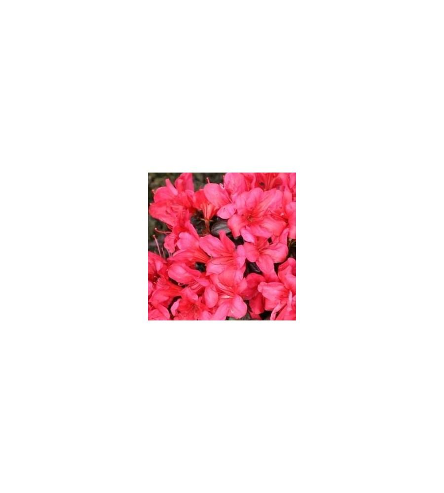 Rhododendron Maruschka - Japansk Azalea
