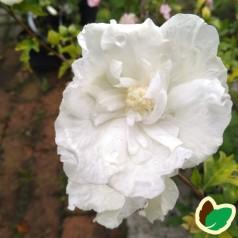 Hibiscus syriacus White Chiffon / Syrisk Rose