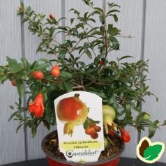 Dværg Granatæble (Punica Granatum 'Nana')
