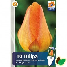 Tulipanløg Orange Lion / Enkelt Tulipan - 10 Løg