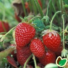 Jordbærplanter Florence - Middel/Sen - 6 Pack