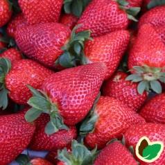 Jordbærplanter Senga Sengana - Middeltidlig - 6 Pack