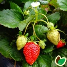 Jordbærplanter Symphony