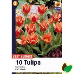 Tulipanløg Fashion -  Kaufmann Tulipan - 10 Løg