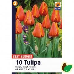Tulipanløg Orange Cassini - Triumph Tulipan / 10 Løg