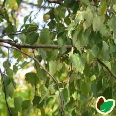 Vortebirk 40-60 cm. - Bundt med 10 stk. barrodsplanter - Betula pendula ¤