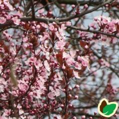 Kirsebær Grundstammer Gisela