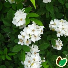 Mangeblomstret Rose 30-50 cm. - Bundt med 10 stk. barrodsplanter - Rosa multiflora _