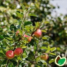 Æble Grundstammer MM106 - 10 stk. barrods grundstammer - PP