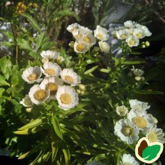 Achillea ptarmica Nana Compacta - Røllike
