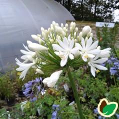 Agapanthus hybrid White Heaven / Skærmlilje