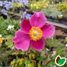 Anemone hupehensis Praecox / Anemone