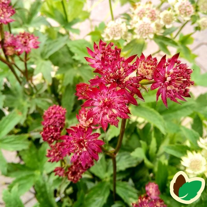 Astrantia major Claret - Stjerneskærm