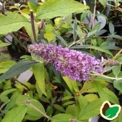Buddleia davidii Lochinch / Sommerfuglebusk