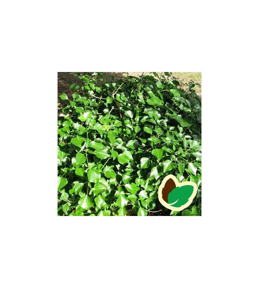 Hedera helix Arborescens / Buskvedbend